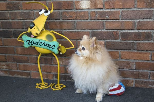 A fluffy beige and tan Pomeranian sitting next to a welcome sign shaped like a yellow cartoon dog