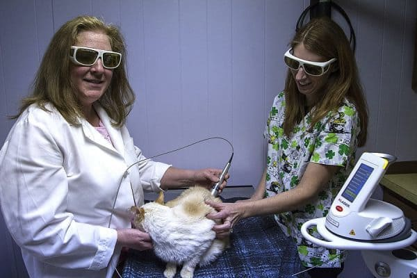 A veterinarian giving a white and beige cat laser therapy white assisted by a vet tech.