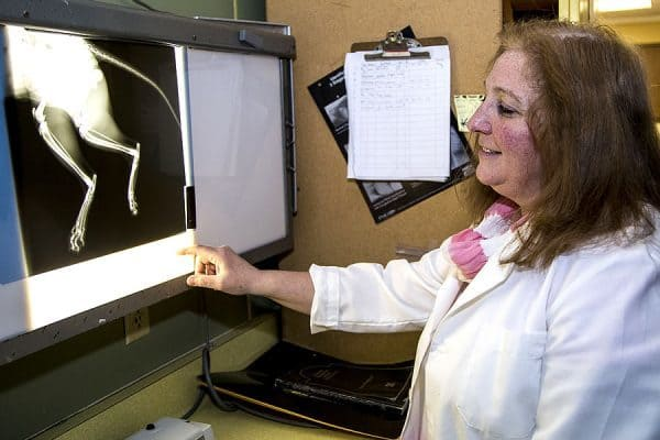 A veterinarian looking at an x-ray of a cat on the x-ray projector