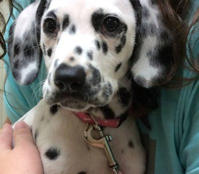 A Dalmatian puppy being cuddled by owner