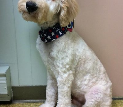 A large curly haired white dog wearing a red white and blue bandanna