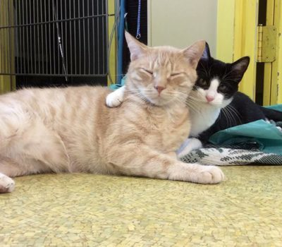A black and white cat with his arm around an orange striped cat