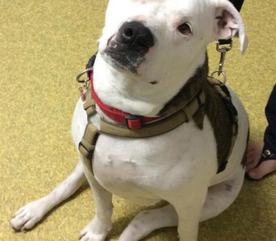A white and grey pit bull dog sitting in the office