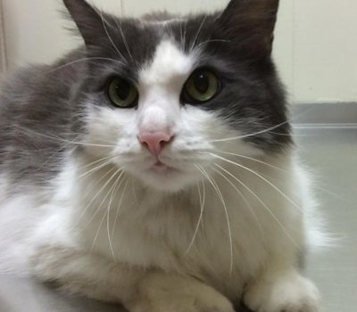 A grey and white cat with green eyes laying down on the exam table