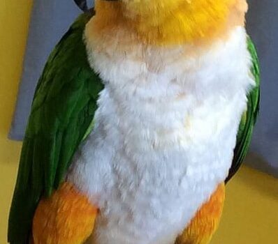 A bright white, black, yellow and green bird sitting on owners finger