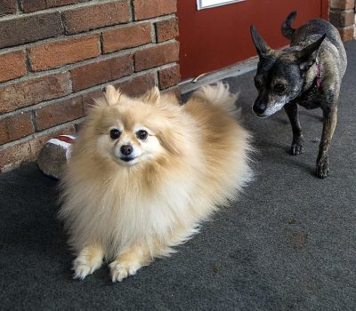 Two small dogs. The dog on the left is a beige and tan Pomeranian who is laying down. The dog on the right is a tan and black dog standing up and looking at the other dog