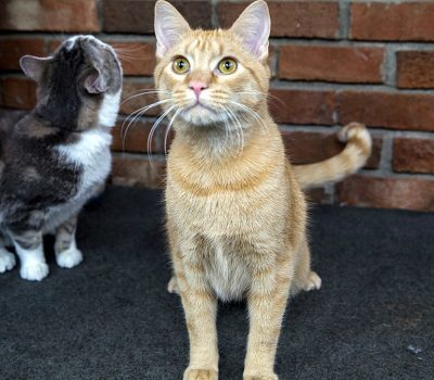 An orange tabby cat with green eyes looking at the camera and a grey and white cat in the background